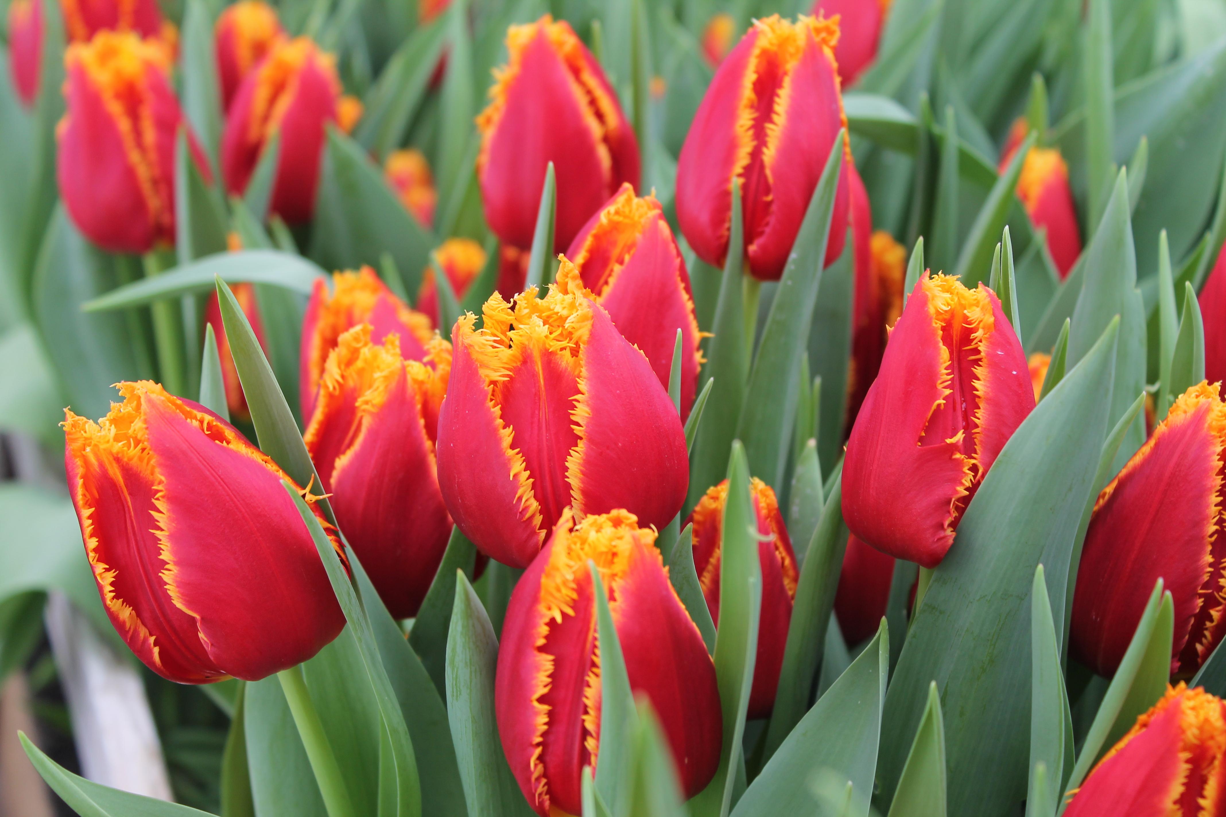 Лилии фото - Красивые фотографии