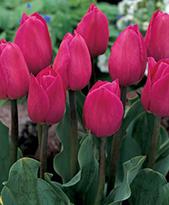 тюльпан барселона фото